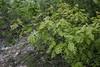 Quercus cerris var. cerris