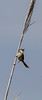 Prinia gracilis, male,