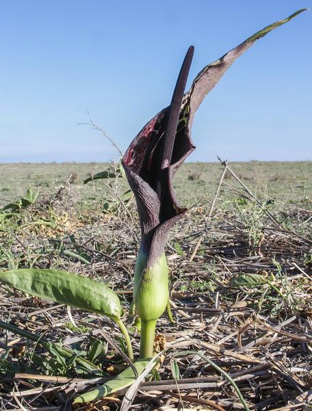 Arum dioscorides var. dioscoridis