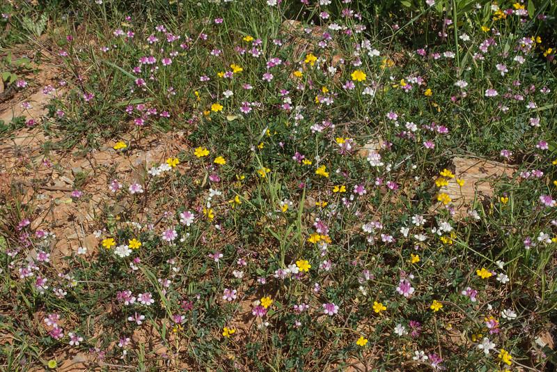 Coronilla parviflora