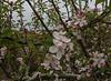 Prunus spec