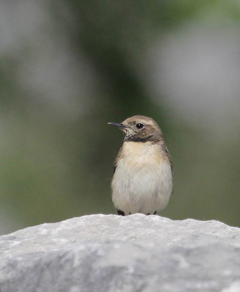 Oenanthe melanoleuca, female