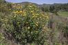 Phlomis longifolia