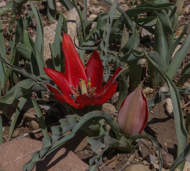 Tulipa foliosa,  formerly T. armena ssp. lysica