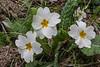 Primula vulgaris ssp. vulgaris