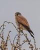 Falco tinnunculus, male