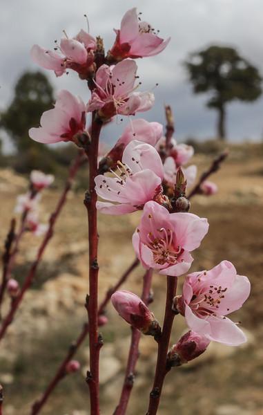 Prunus spec.??