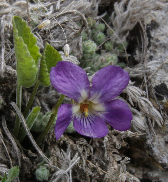 Viola sandrasea