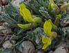 Astragalus hirsutus