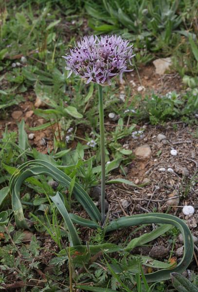 Allium ??