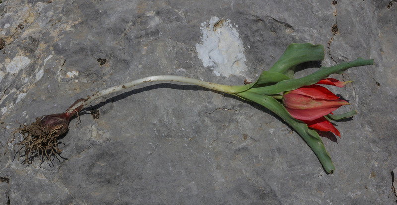 Bulb of Tulipa foliosa,  formerly T. armena ssp. lysica