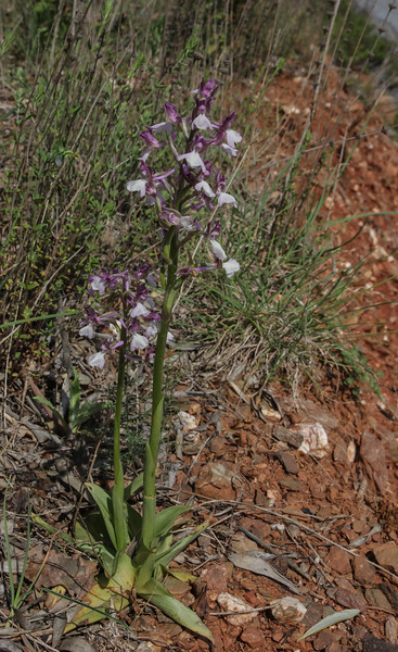Orchis syriaca