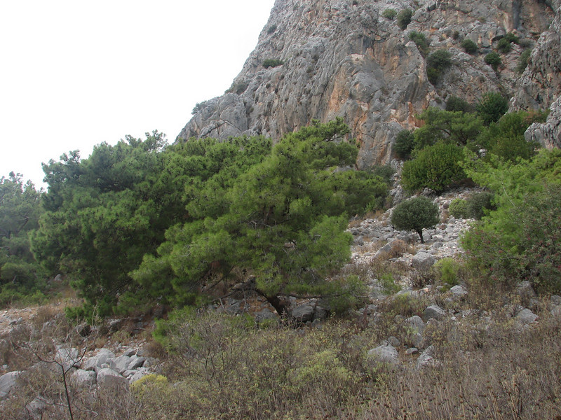 habitat  of Colchicum decaisnei (Akseki 520m.Southwestern Turkey)