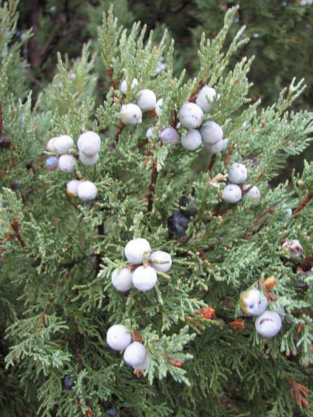 Juniperus excelsa (Southwestern Turkey)