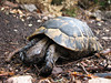 Testudo graeca (NL: Moorse landschildpad)(Termessos, Southwestern Turkey)