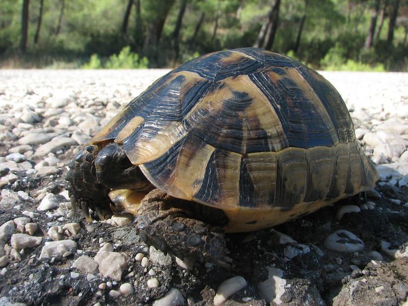 Testudo graeca, Moorse landschildpad
