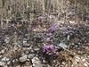 Cyclamen graecum ssp. anatolicum (just NW of Kumluca SW Turkey)