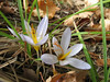 Crocus cancellatus ssp. mazziaricus (between Fethiye and Gölhisar, SW Turkey)