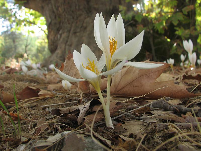 Crocus cancellatus ssp. lycius (Tahtali Dag, Southwestern Turkey)