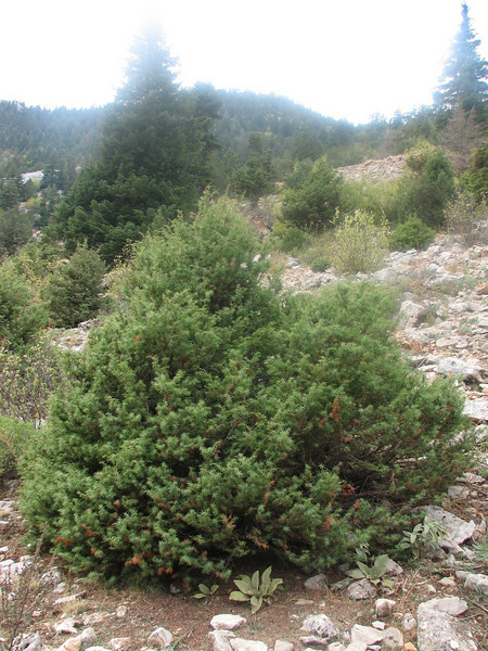Juniperus oxycedrus (Geyik Daglari.1410m. Southwestern Turkey)