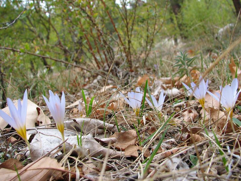 Crocus cancellatus ssp. mazziaricus (between Fethiye and Gölhisar, SW Turkey)