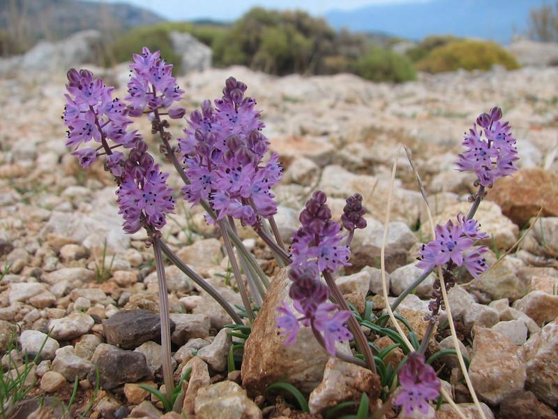 Scilla autumnalis (near Xanthos, SW Turkey)