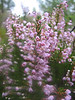 Erica manipuliflora (Termessos, Southwestern Turkey)