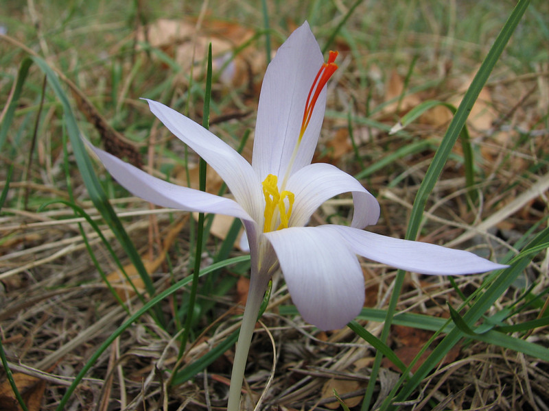Crocus pallasii ssp. pallasii (between Fethiye and Gölhisar, SW Turkey)