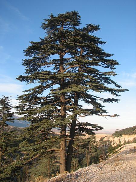 Cedrus libani (near Sinekci Beli, 1380m., Southwestern Turkey)