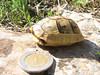 Testudo graeca (NL: Moorse landschildpad) (archaeological site Xanthos, Southwestern Turkey)