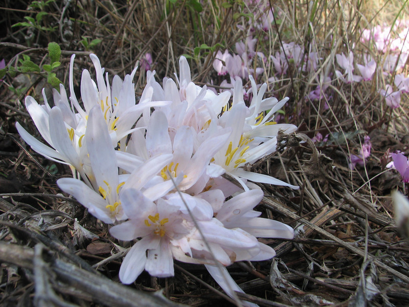 Colchicum decaisnei (just NW of Kumluca SW Turkey)