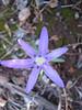 Colchicum stevenii (West of Kas, Southwestern Turkey)
