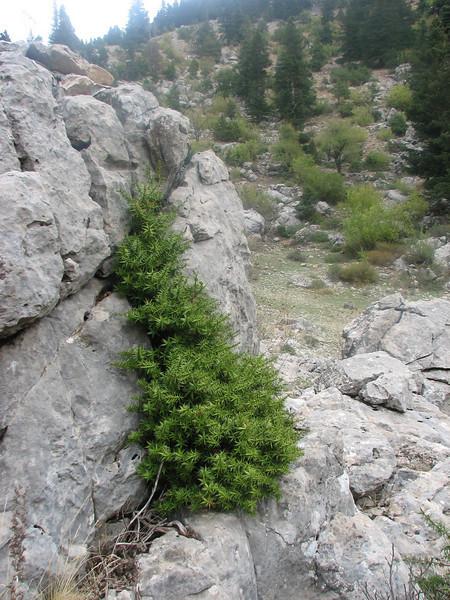 habitat of Juniperus (Geyik Daglari.1410m. Southwestern Turkey)
