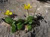 Ranunculus bullatus (near Xanthos, SW Turkey)