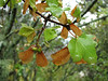Acer sempervirens (Termessos, Southwestern Turkey)