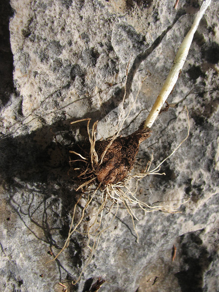 bulb of Crocus mathewii (only for determination purpose)(Baba Daglari 1671m., Southwestern Turkey)