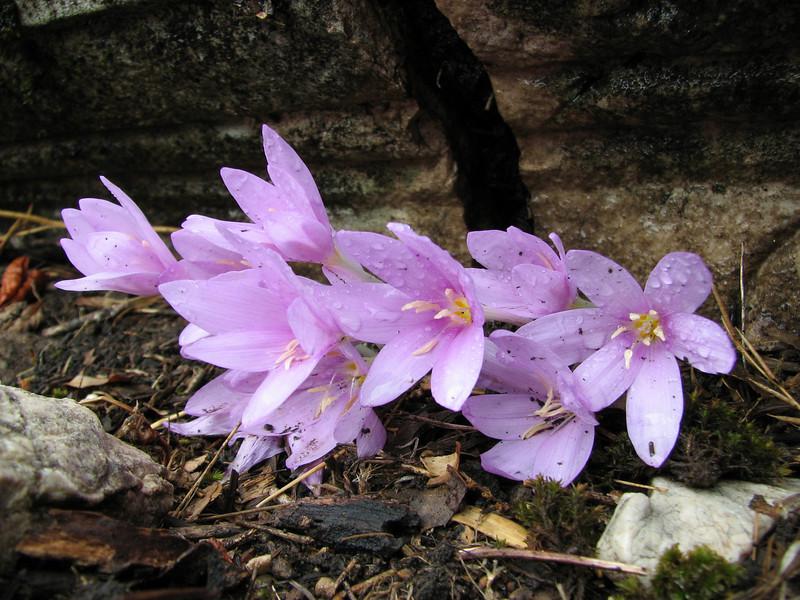 Colchicum baytopiorum (Termessos, SW Turkey)