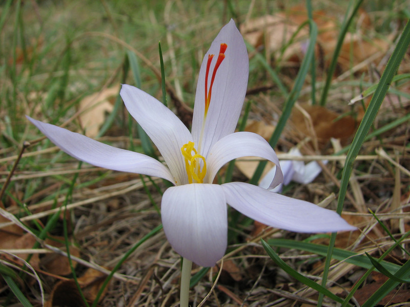 Crocus pallasii ssp. pallasii (between Fethiye and Gölhisar, SW Turkey)