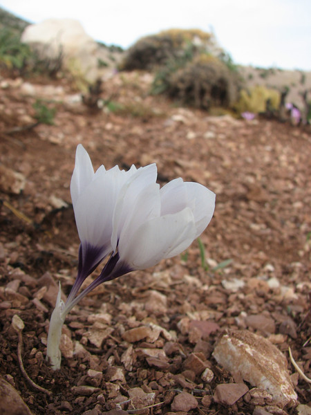 Crocus mathewii (Baba Daglari 1671m., Southwestern Turkey)