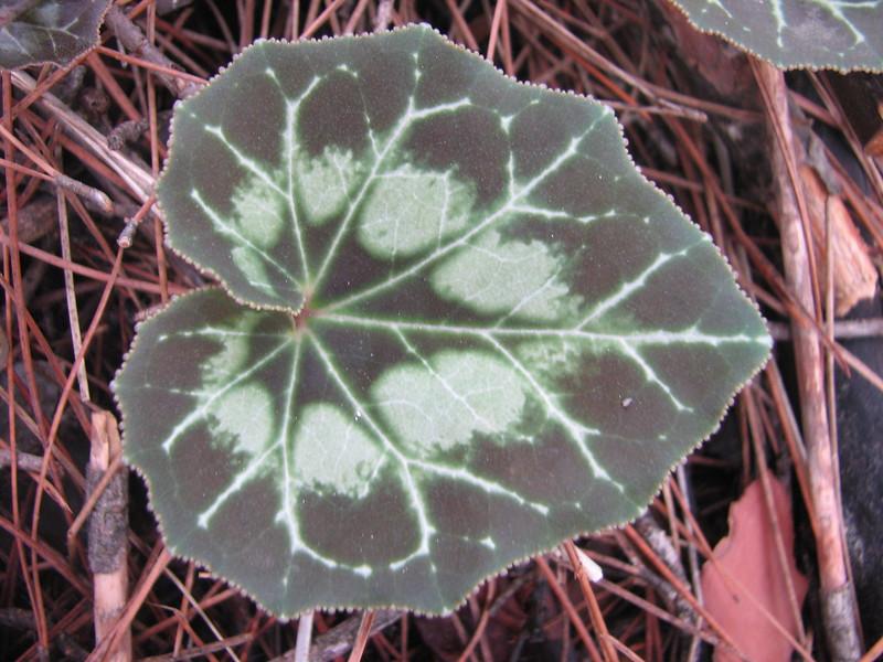 leaf of Cyclamen graecum ssp. anatolicum (just NW of Kumluca SW Turkey)