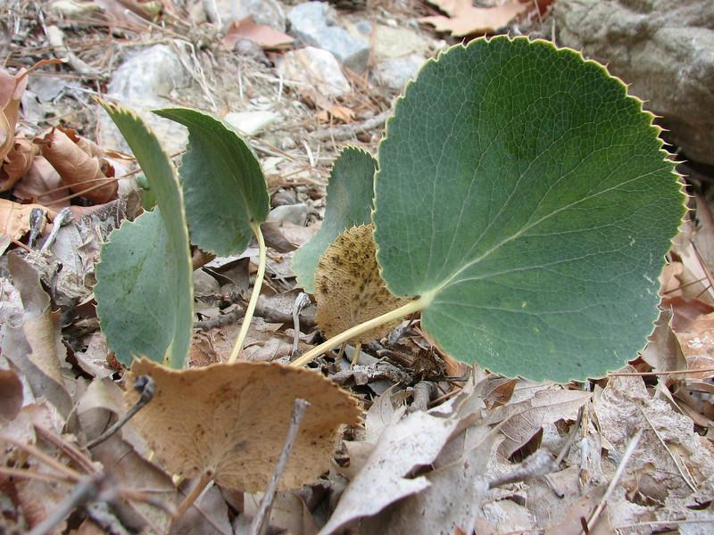 Eryngium thorifolium (between Fethiye and Gölhisar, SW Turkey)