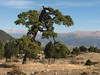 Pinus spec. (dirt road west of Yesilbarak, Akdaglari, SW Turkey)