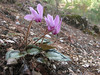 Cyclamen graecum ssp. anatolicum (just NW of Kumluca SW Turkey)