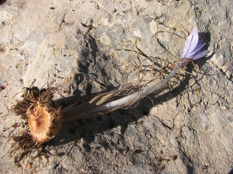 bulb of Crocus pallasii ssp. pallasii (bulb only for determination purpose) (dirt road west of Yesilbarak, Akdaglari, SW Turkey)