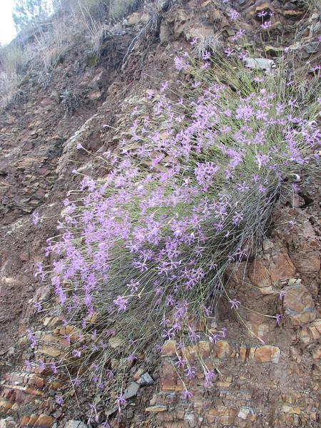 habitat of Dianthus spec. ((just NW of Kumluca Southwestern Turkey)