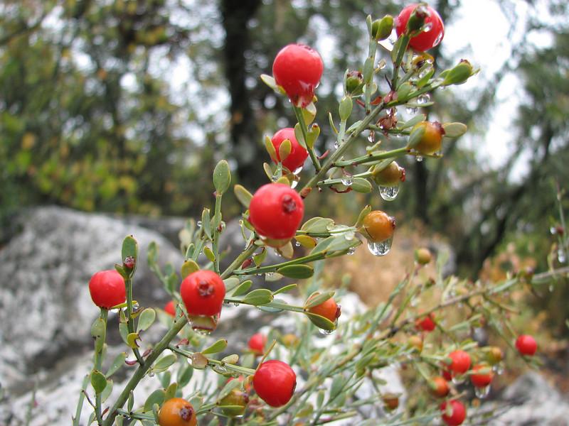 Osyris alba (Termessos, Southwestern Turkey)