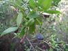 Myrtus communis (just NW of Kumluca SW Turkey)