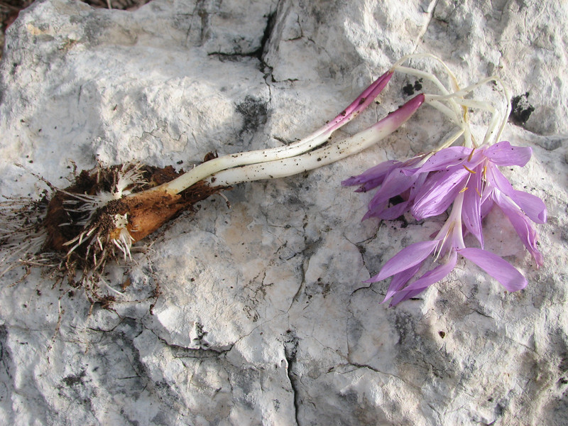 bulb of Colchicum sanguicolle (only for determination purpose) (Southwestern Turkey)