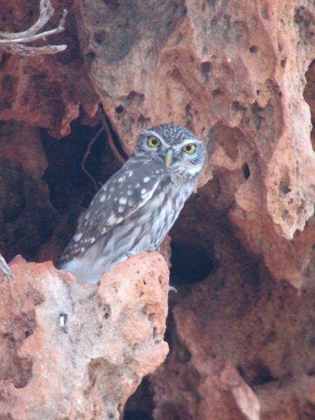Athene noctua, Little Owl (NL: Steenuil) (Baba Dagi, SW Turkey)