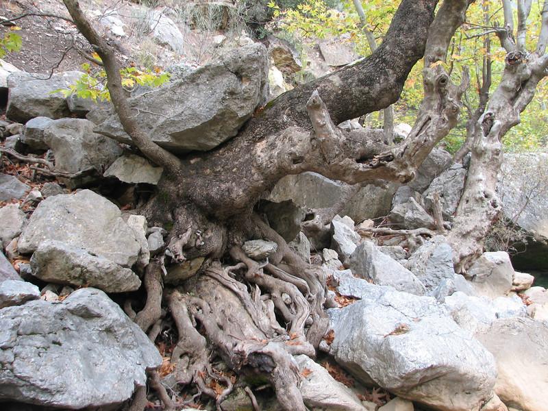 Platanus orientalis (Between Besehir and Akseki, Konya Province)